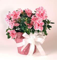 azalea.pinkwhite.wrapped