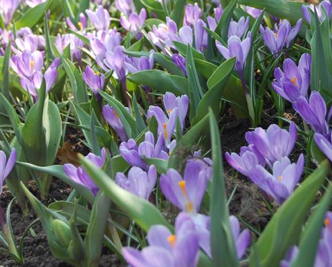 Plant Library: Bulbs, Corms, Tubers & Rhizomes - Payne's ...