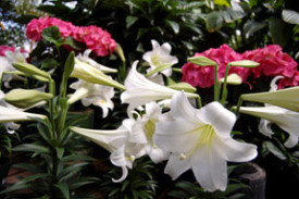Lilies in all their glory, ready to celebrate Easter. Gift wrapping and local delivery are available.