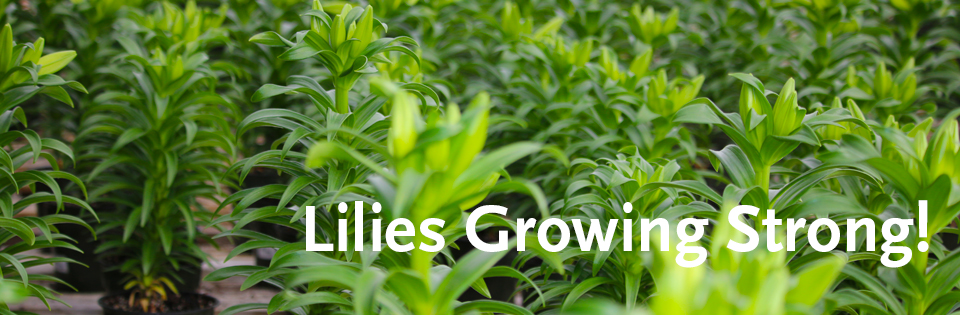 liliesgrowningSLIDER