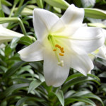 Payne's Easter lilies are full, fresh and fragrant indoors and can be planted outdoors after May 15.