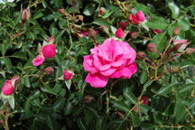 rose-bush-web_0249