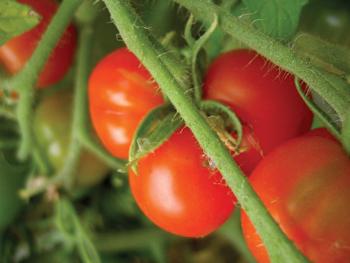 tomato_iStockz