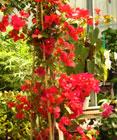 bougainvillea.scarlet.retouch