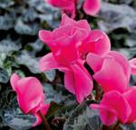 hot-pink-cyclamen-web