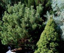 live-xmas-trees