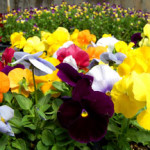Pansies and violas ready for spring planting in one of Payne's greenhouses.