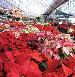 poinsettias-greenhouse