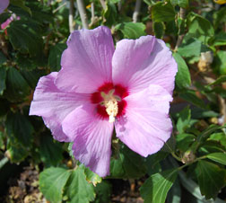Althea – Rose of Sharon