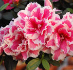 azaleas-pink-wt-web