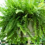 boston-fern-hanging-web