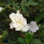 gardenia-web
