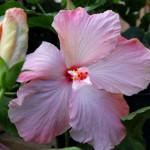 hibiscus-pink_1817-web
