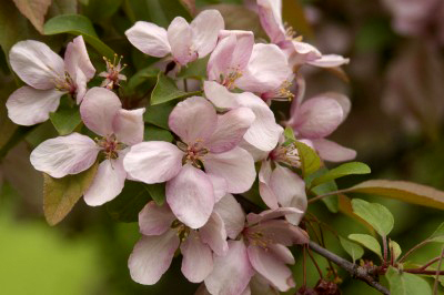 Flowering Crabapple – Indian Magic