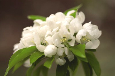 Flowering Crabapple-Spring Snow