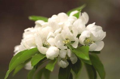 Flowering Crabapple-Spring Snow