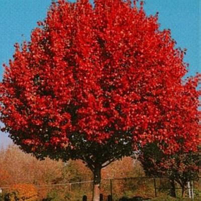 Flowering Pear-Autumn Blaze