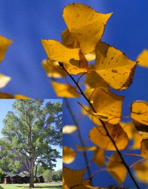 Cottonwood Fremont