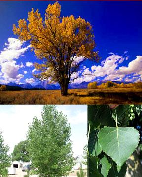 Cottonwood Tree-Plains