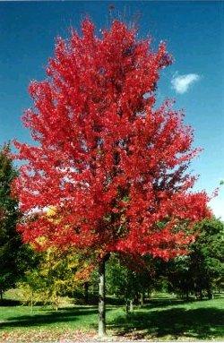 Maple- Autumn Blaze