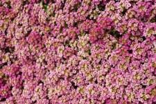 alyssum.pink