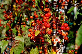 crabapple-berries_0707-web