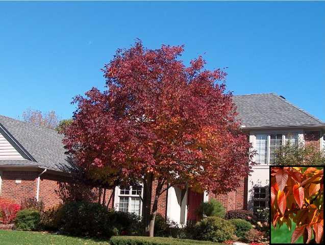 Ash Tree – Autumn Purple