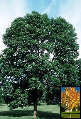 Ash Tree – Marshall