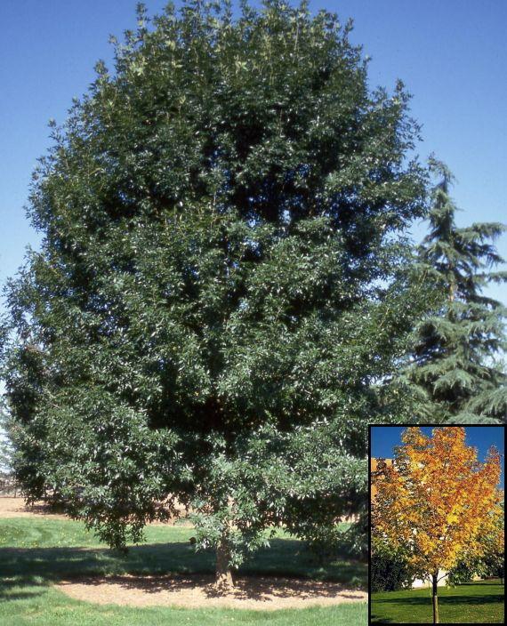 Ash Tree – Patmore