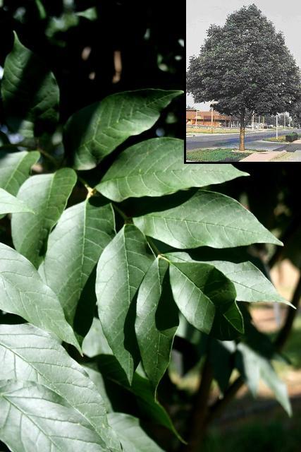 Ash Tree – Urbanite