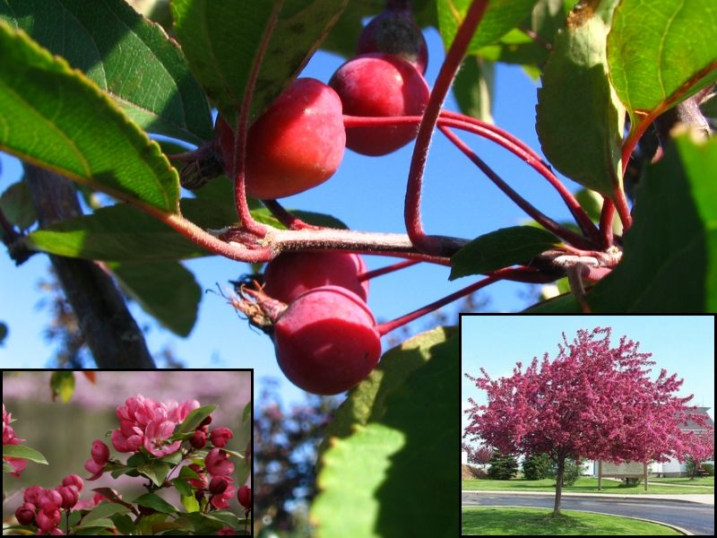 Flowering Crabapple-Radiant