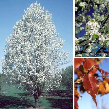 Flowering Pear – Aristocrat®