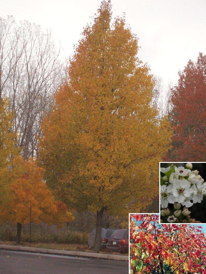 Flowering Pear-Chanticleer