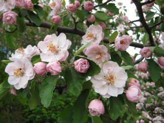 Flowering Crabapple-Klehem's Bechtel