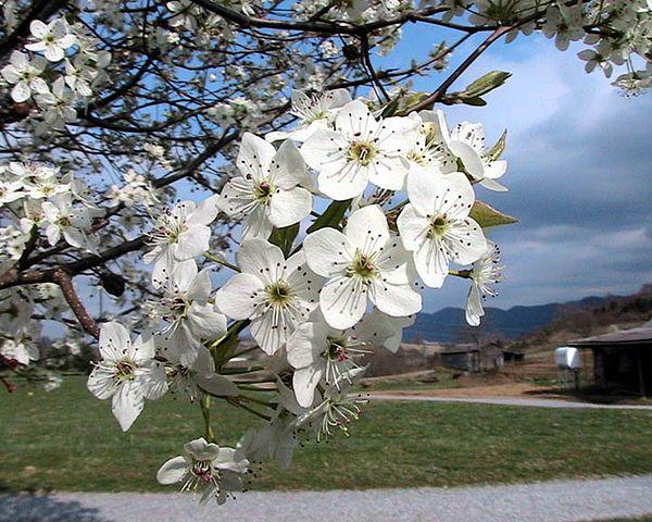 Flowering Pear-Bradford