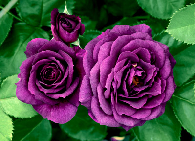 Rose – Ebb Tide