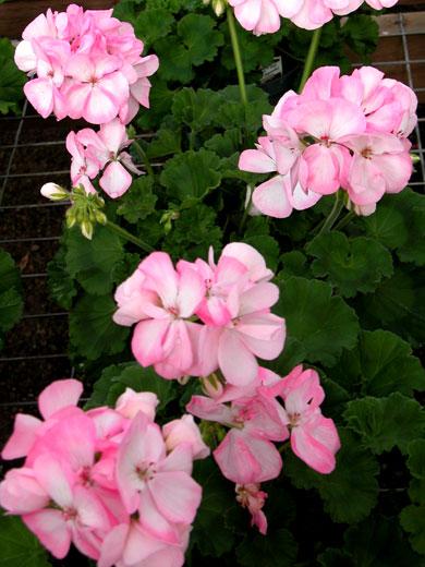Geranium-lt-pink