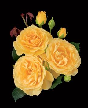 Rose – Julia Child