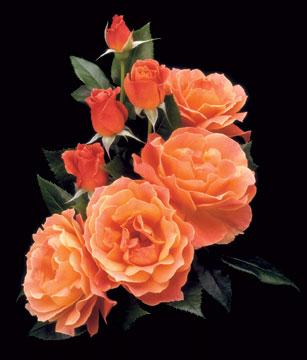 Rose – Livin' Easy