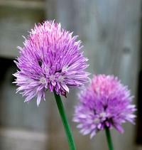 Onion-Chives_Flower-webwiki