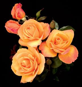 Rose – Strike It Rich