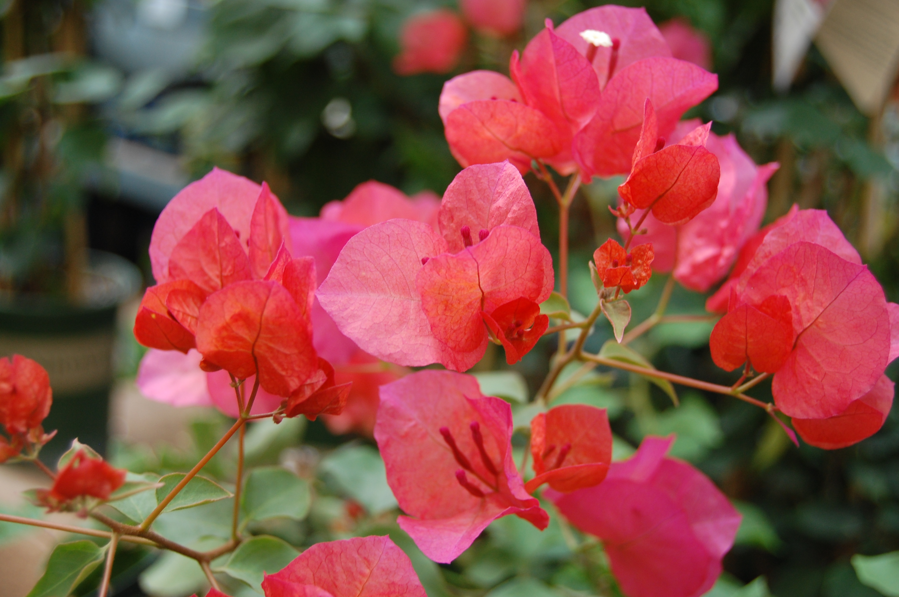 bougainvillea.rosyorange