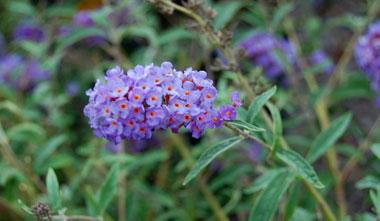 buddleia.blue