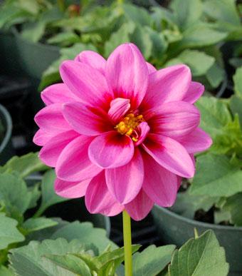 dahlia-pink-web_1881