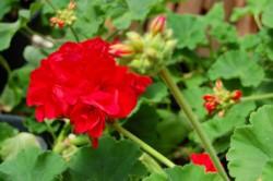 geranium-cu-web