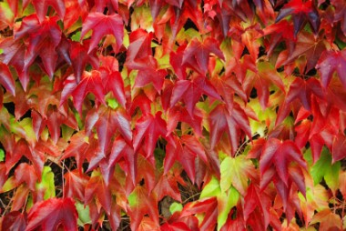 Boston ivy leaves turn beautiful colors in fall.