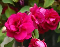 impatiens-double_hot-pink-2550