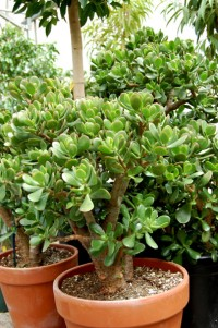 jade-plant-in-pot_0623