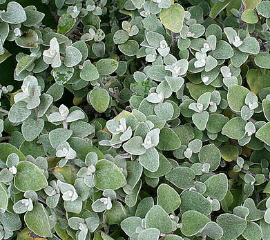 Licorice Vine