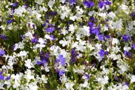 lobelia-white+purple_1548
